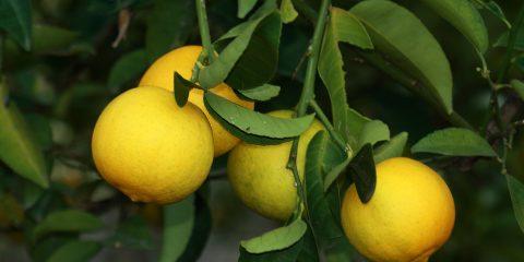 osmaniye tatlı limon