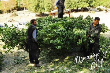 osmaniye defne yaprağı