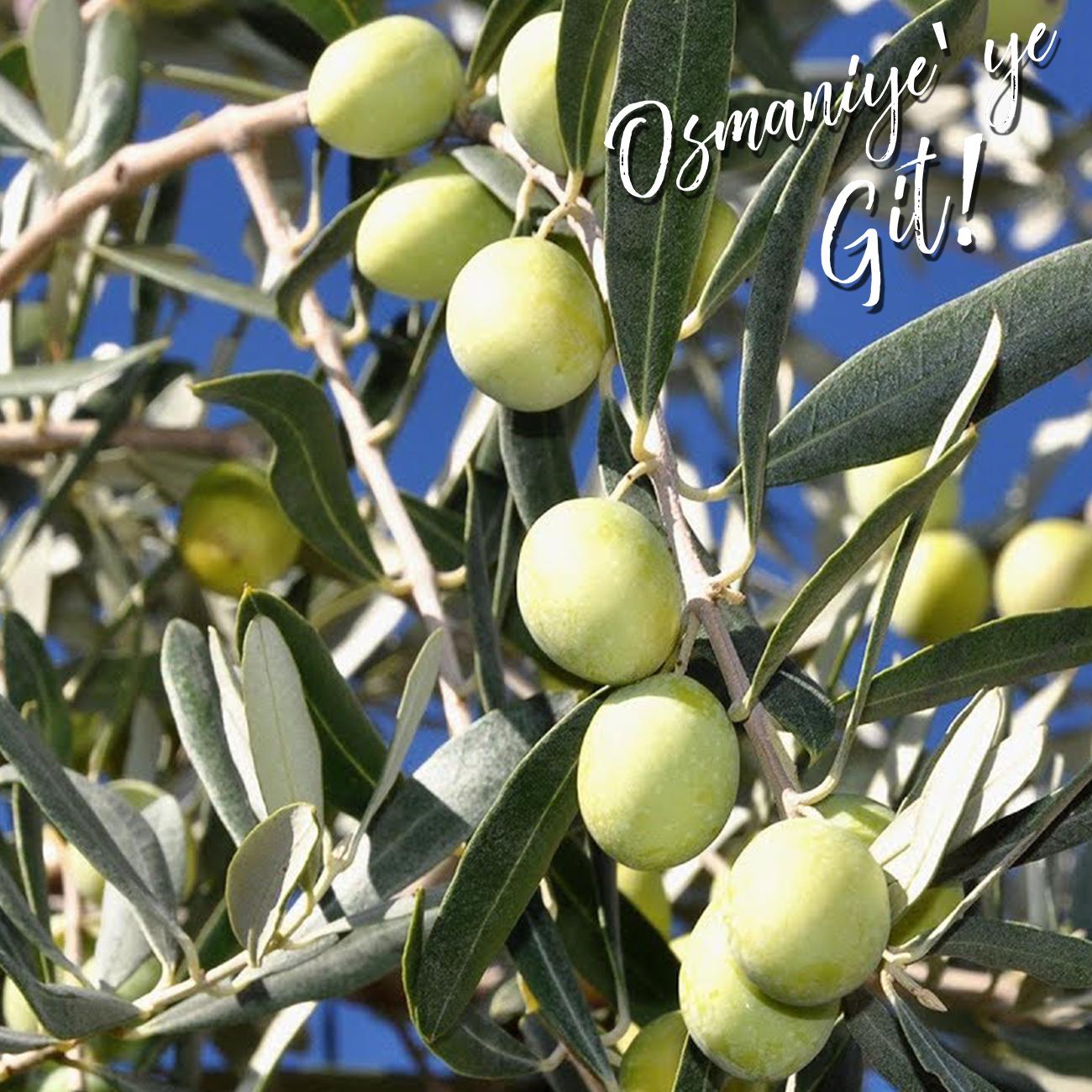 osmaniye zeytinyağı